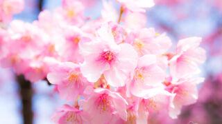 桜の撮影やお花見に便利!全国の桜の見頃がリアルタイムにチェックできるサイト!