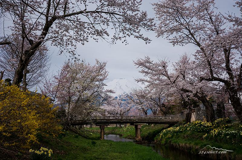 GWに桜の見頃「新名庄川」沿いの桜並木を富士山と共に撮ろう!アクセスと撮影攻略