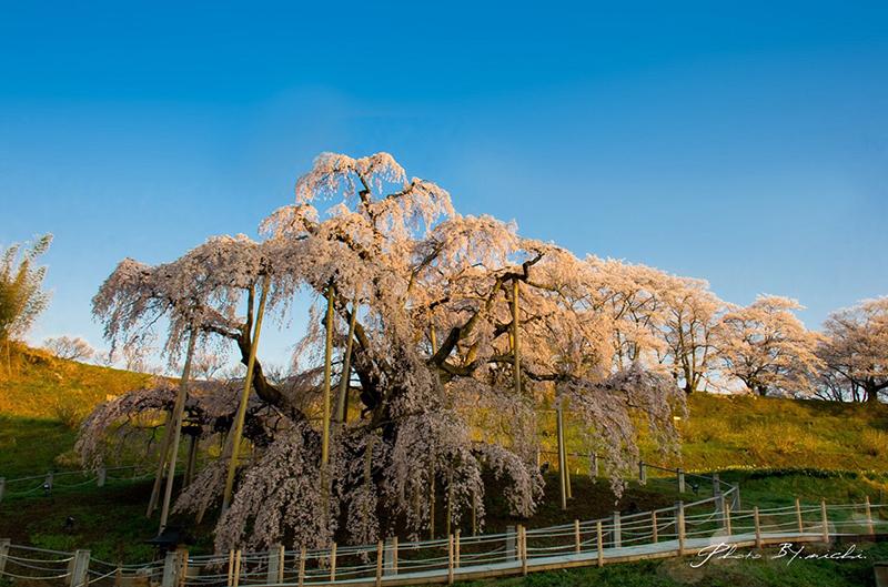 日本三大桜 樹齢千年超えのしだれ桜 三春滝桜 鑑賞!三春滝桜へのアクセスと撮影攻略