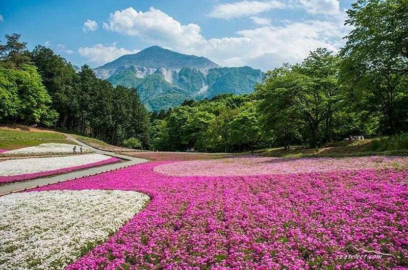 秩父「羊山公園芝桜の丘」混雑を避けて見頃の芝桜を楽しもう!撮影攻略とアクセス
