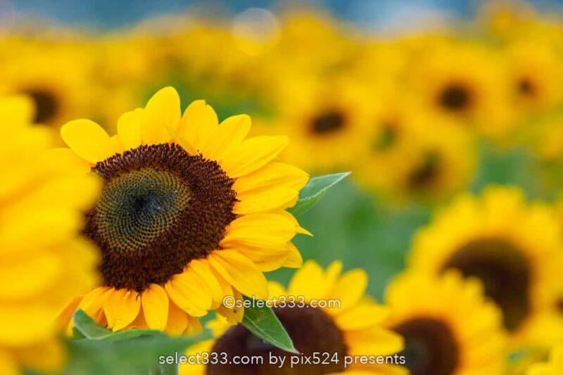佐倉ふるさと広場のひまわり!風車が映える花畑のお勧め撮影地!チューリップも美観