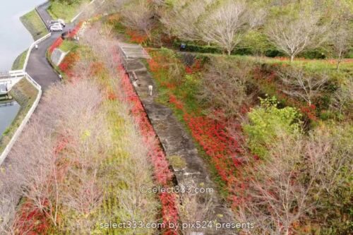 宝山湖の彼岸花の見頃!山肌が赤く染まる三豊市の曼珠沙華!夏の終わりの彩り