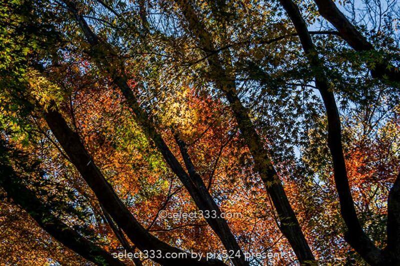 神代植物公園かえで園の紅葉撮影!落ち葉の絨毯の見頃時期は?紅葉したモミジの赤い絨毯