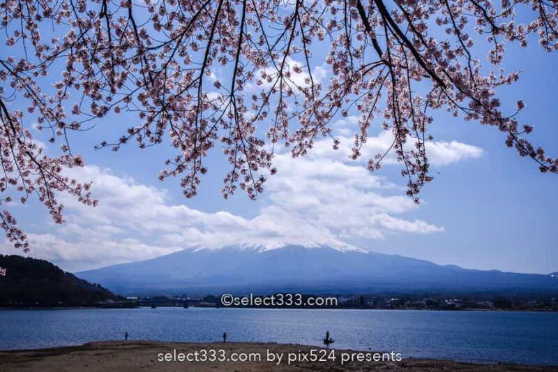 河口湖北岸ウォーキングトレイル!満開の桜並木と富士山撮影!富士五湖の桜撮影地