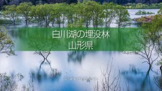 白川湖の水没林の撮影!白川ダム湖岸公園の一ヶ月間限定風景!飯豊町の幻想的なスポット