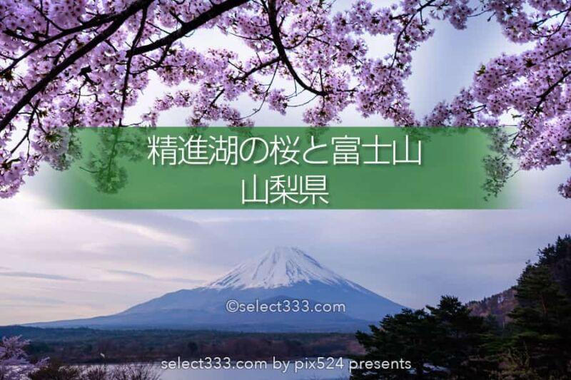 精進湖の湖畔の桜と富士山の風景撮影!富士五湖の桜鑑賞と撮影!精進湖の桜の開花時期