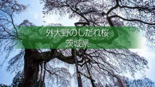 外大野のしだれ桜(下大倉の桜)歴史を感じる大子のしだれ桜!水戸光圀公手植えの桜