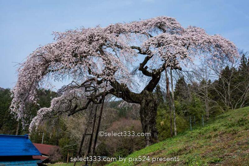 外大野のシダレザクラ(下大倉の桜)歴史感じる大子のしだれ桜!水戸光圀公手植えの桜
