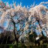 東郷寺 満開のしだれ桜 東京都府中市桜の撮影スポット!都内のお花見と撮影ポイントの