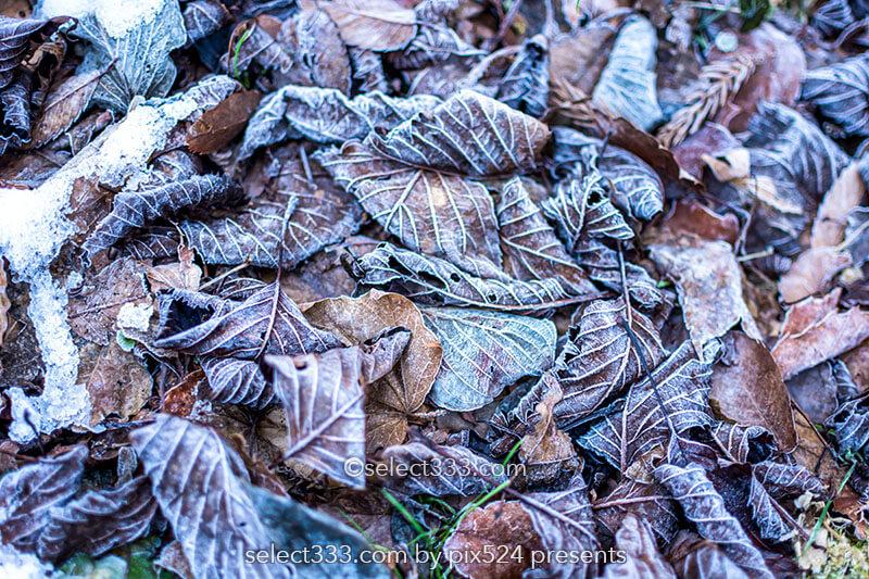 落ち葉の霜を撮影しよう!冷えた朝の冬の被写体落ち葉の霜!秋の終わりの被写体撮影
