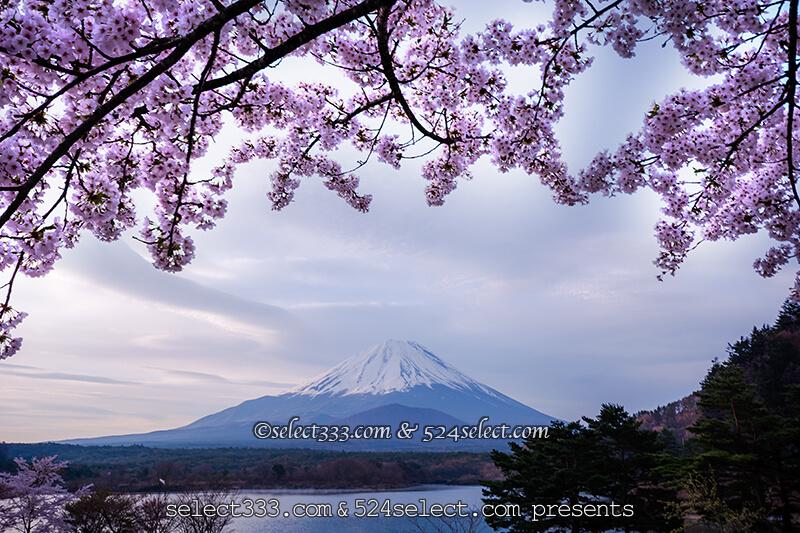 富士五湖精進湖でも桜と富士山が見れる?精進湖へのアクセス!桜鑑賞と撮影ポイント攻略
