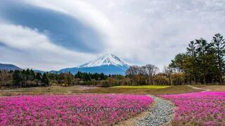 富士本栖湖リゾート芝桜と竜神池の逆さ富士!アクセスと見頃は?芝桜と富士山撮影攻略