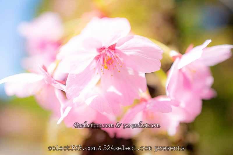 桜を撮ろう!桜並木撮影地や桜のアップ!色々な桜撮影のコツ!見頃を狙って春の風景を!