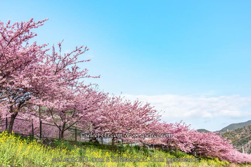 河津桜まつり2019年版!河津川の桜並木観光と撮影ポイント!駐車場・桜スポット・しだれ桜