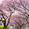 河津桜まつり2019年版!河津川の桜並木観光と撮影ポイント!駐車場・桜スポット・しだ