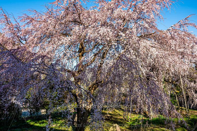 東京都内のしだれ桜の見頃は?東郷寺の大しだれ桜撮影攻略!東郷寺へのアクセスと満開時期