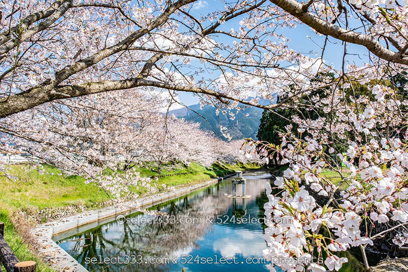 新居浜市高柳公園の桜並木!美しい桜並木のリフレクション!穴場的桜撮影スポット!
