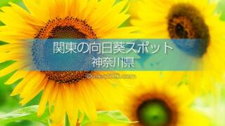 神奈川県のひまわり観光・撮影地は?見頃のひまわり畑名所巡り!神奈川県内のひまわり畑