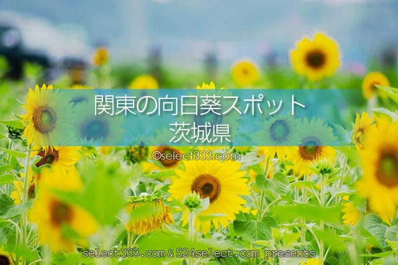 茨城県のひまわり観光・撮影地!ひまわり畑の名所と見頃は?茨城観光の寄り道スポット