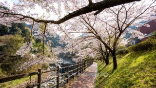 マイントピア別子満開の桜並木愛媛県新居浜市鉱山鉄道!時の入口!川添いに咲く桜のトンネル