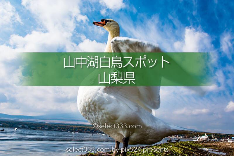 山中湖白鳥スポット!富士山と白鳥・山中湖畔の白鳥撮影地!白鳥の撮れる撮影ポイント