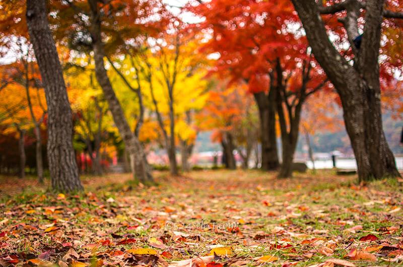 河口湖の紅葉スポットもみじ回廊で紅葉ライトアップを撮ろう!河口湖湖岸も紅葉スポット